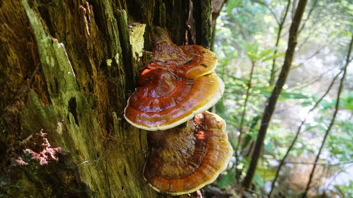 Reishi – houba nesmrtelnosti, která může zvyšovat buněčnou imunitu