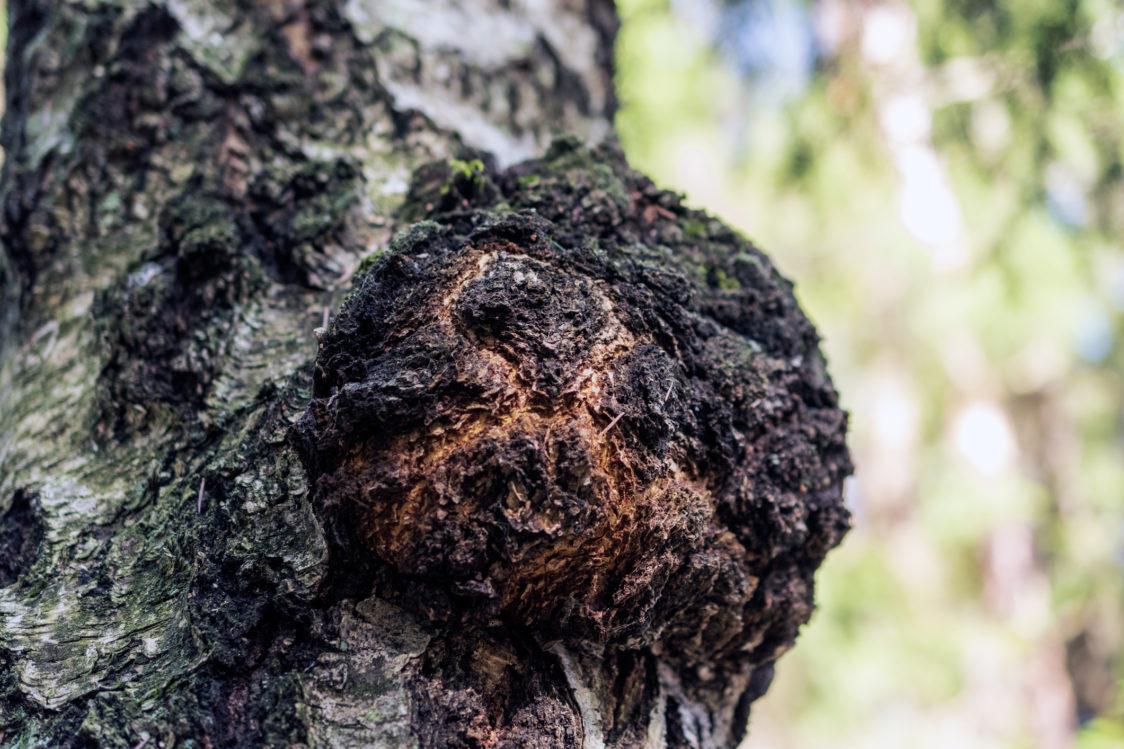 Chaga – vzhledem připomíná hromadu hlíny a je prospěšná pro zdraví srdce a cév