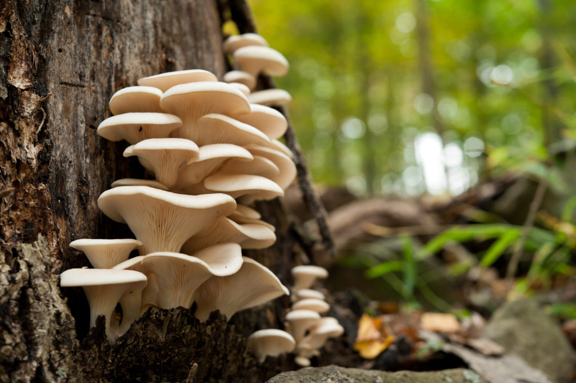 Hlíva ústřičná – doplněk pro podporu imunity a také lahodná houba, která zpestří každý pokrm