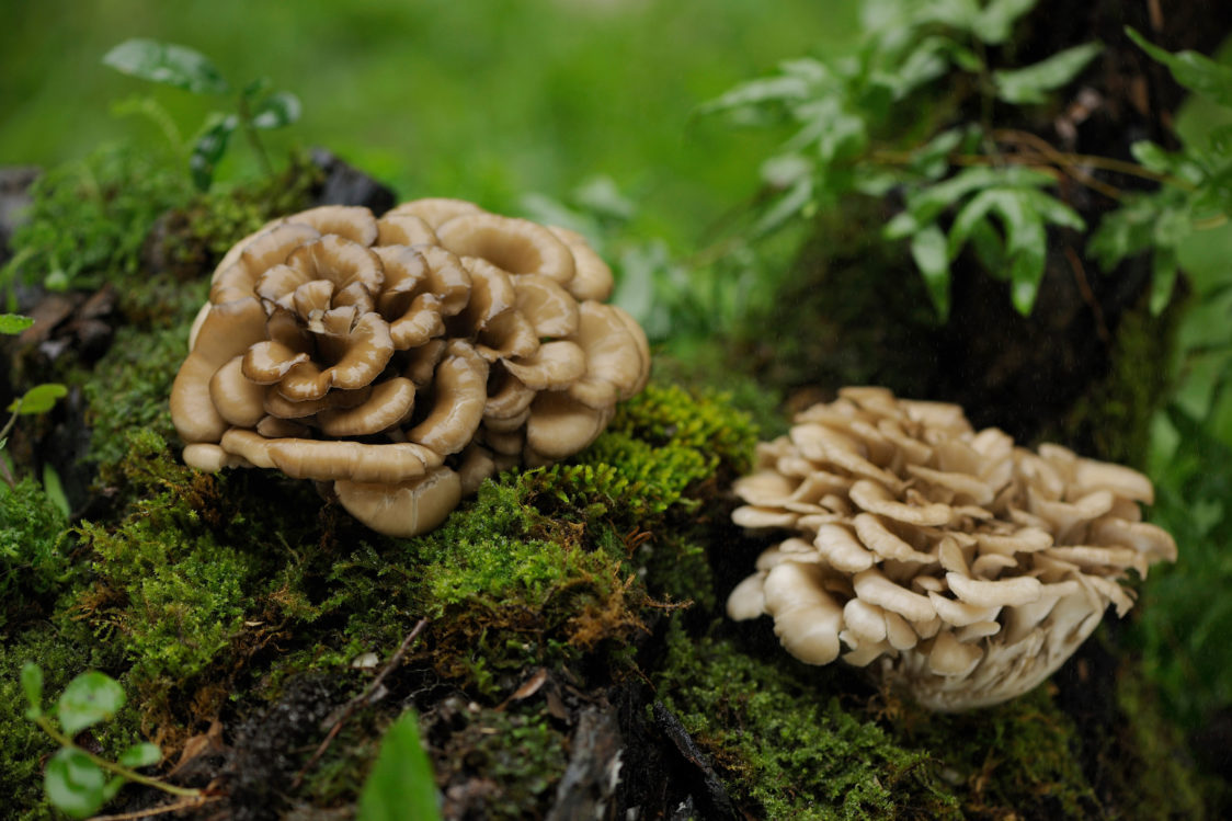 Maitake – taneční houba, která pomáhá snížit únavu a vyčerpání