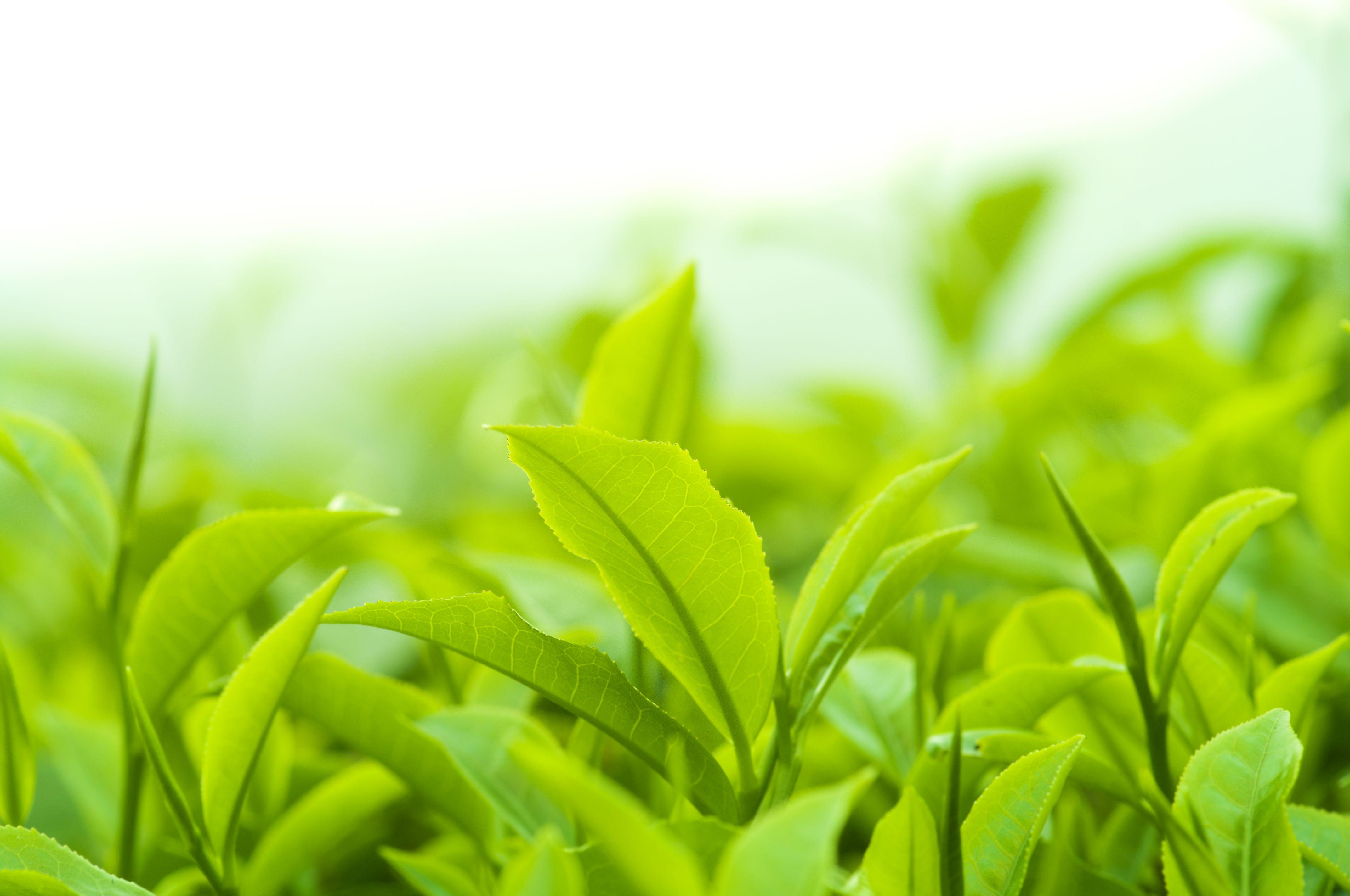 green tea zelený čaj gymbeam účinky na zdraví
